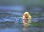 little yellow duckling swimming towards the camera